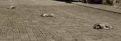 063 'Guard dogs...' - Turkey